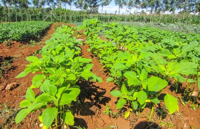 Nyota_organic_farming-6732