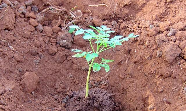 nyota- moringa seedlings